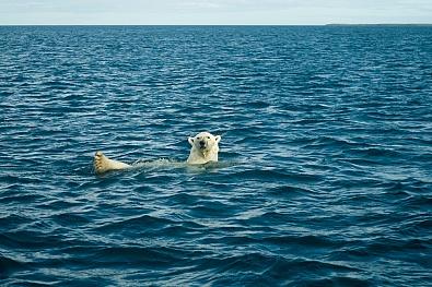 Белый медведь у Новой Земли