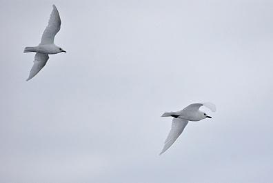 Белые чайки